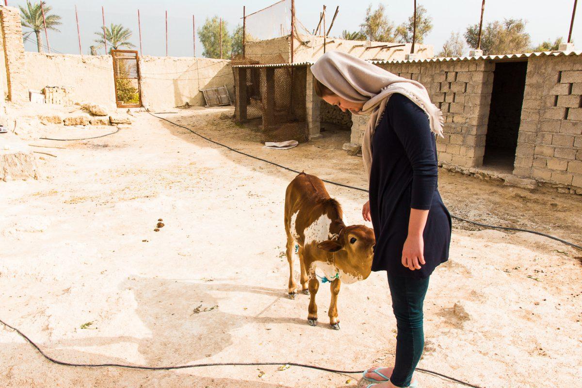 Cow at accommodation on Qeshm Island Iran