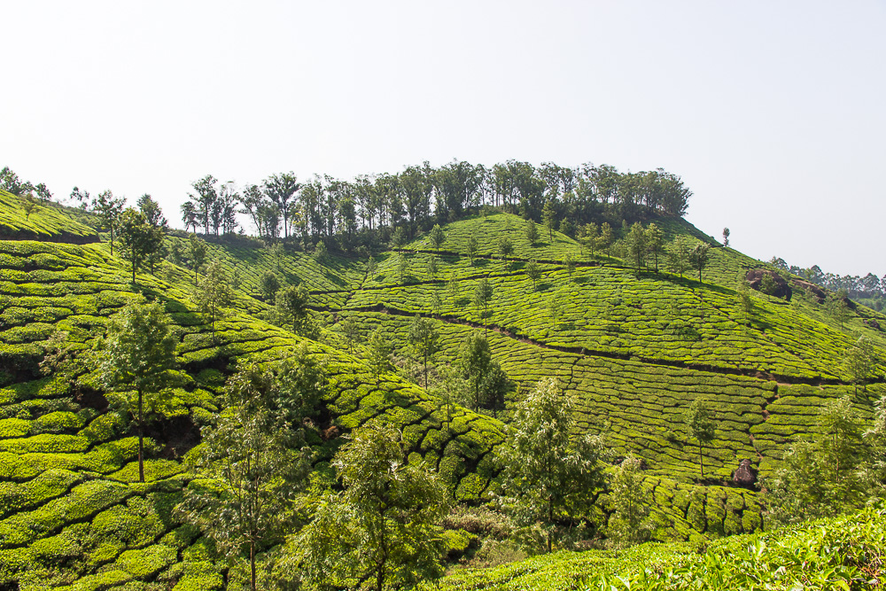 Trekking in Munnar's Tea Fields