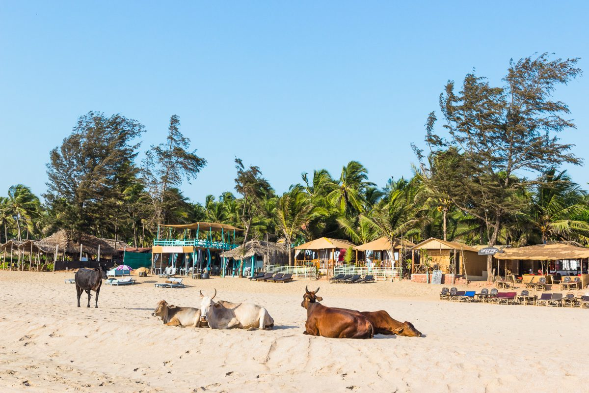 Cows Sunbathing at Agonda Beach - The Best Beach in Goa for Backpackers