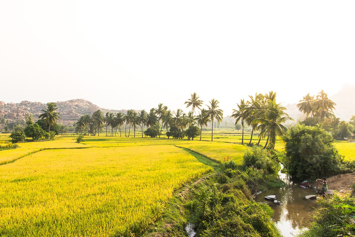 Things to do in Hampi: Yellow and Green Rice Fields