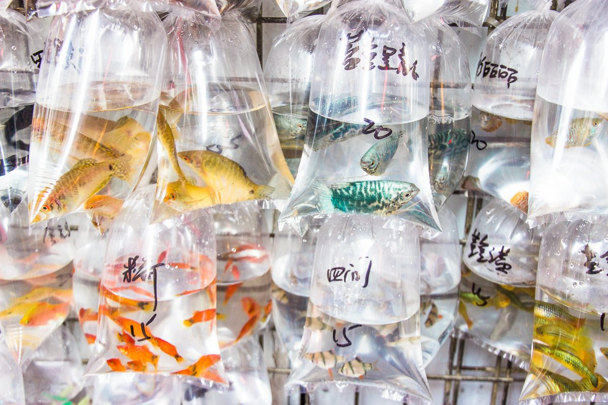 Fish in tiny bags to be bought in Mong Kok in Hong Kong.