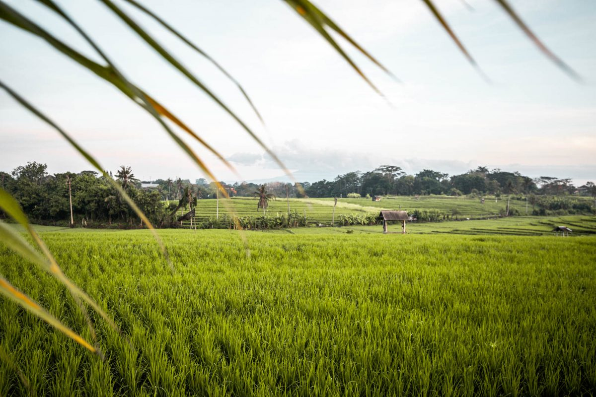 rice fields in Canggu Bali