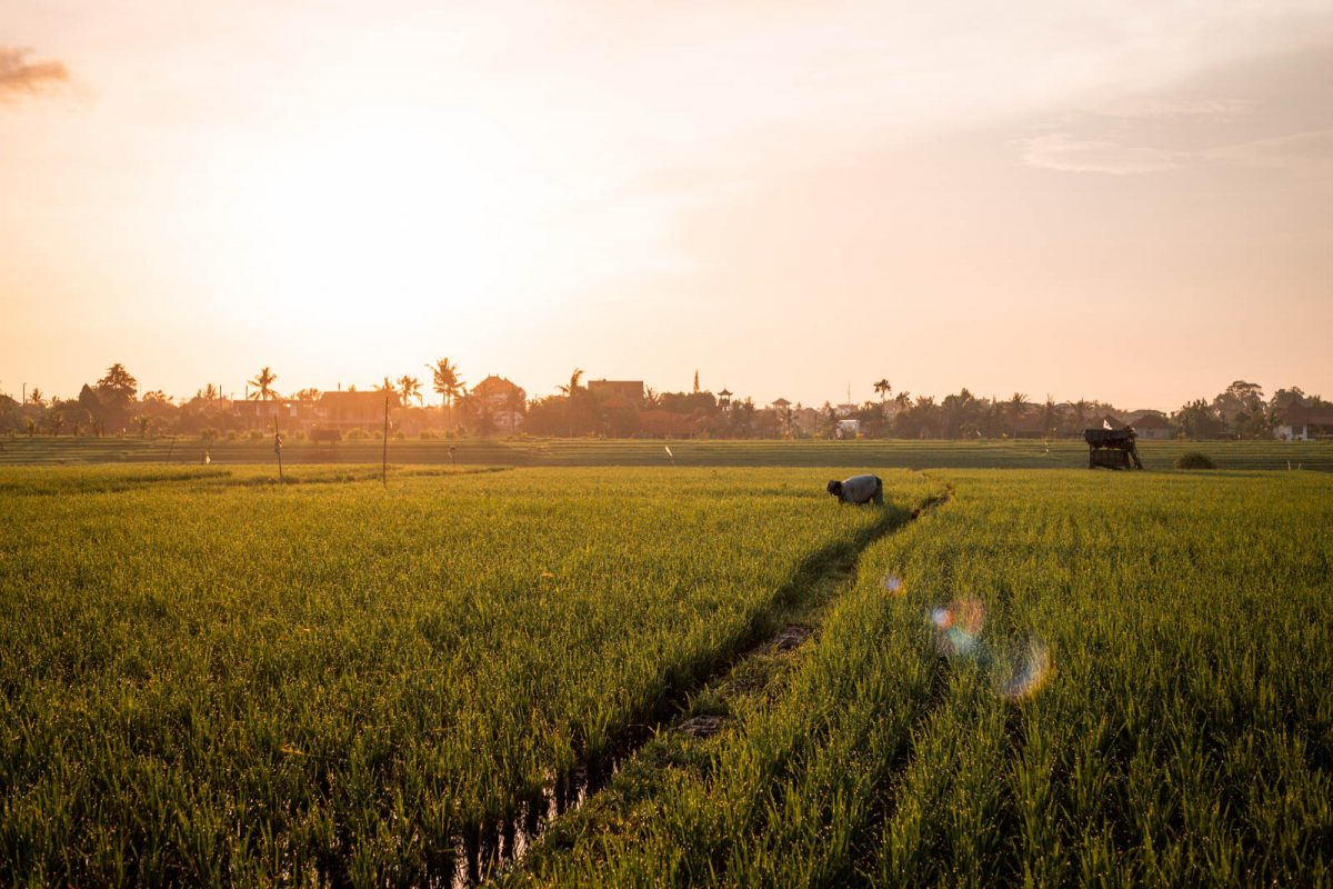 Sunrise at The Rice Fields in Canggu, Bali