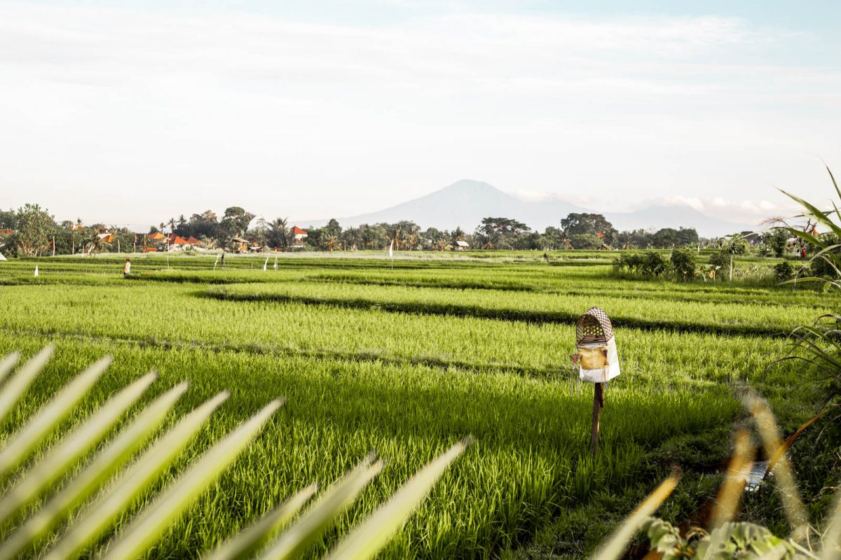 The Rice Fields in Canggu, Bali