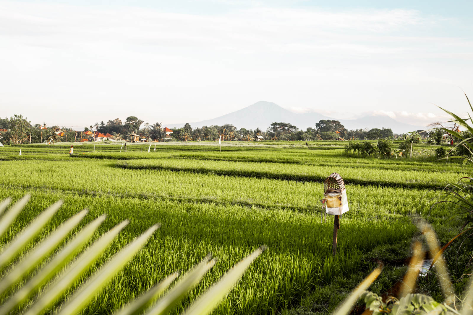 rice field views near Canggu in Bali