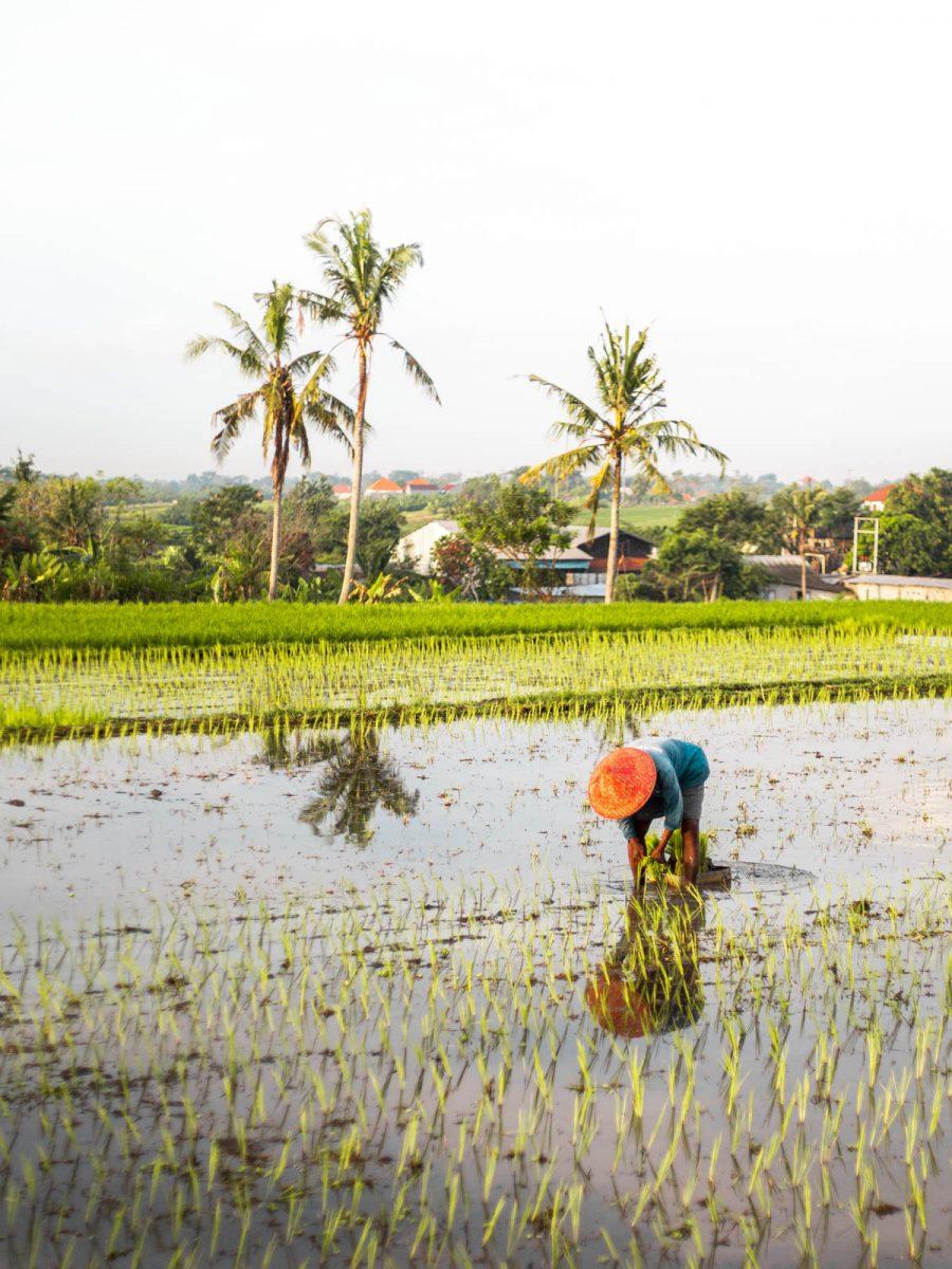 Man Working in The Rice Fields in Canggu, Bali