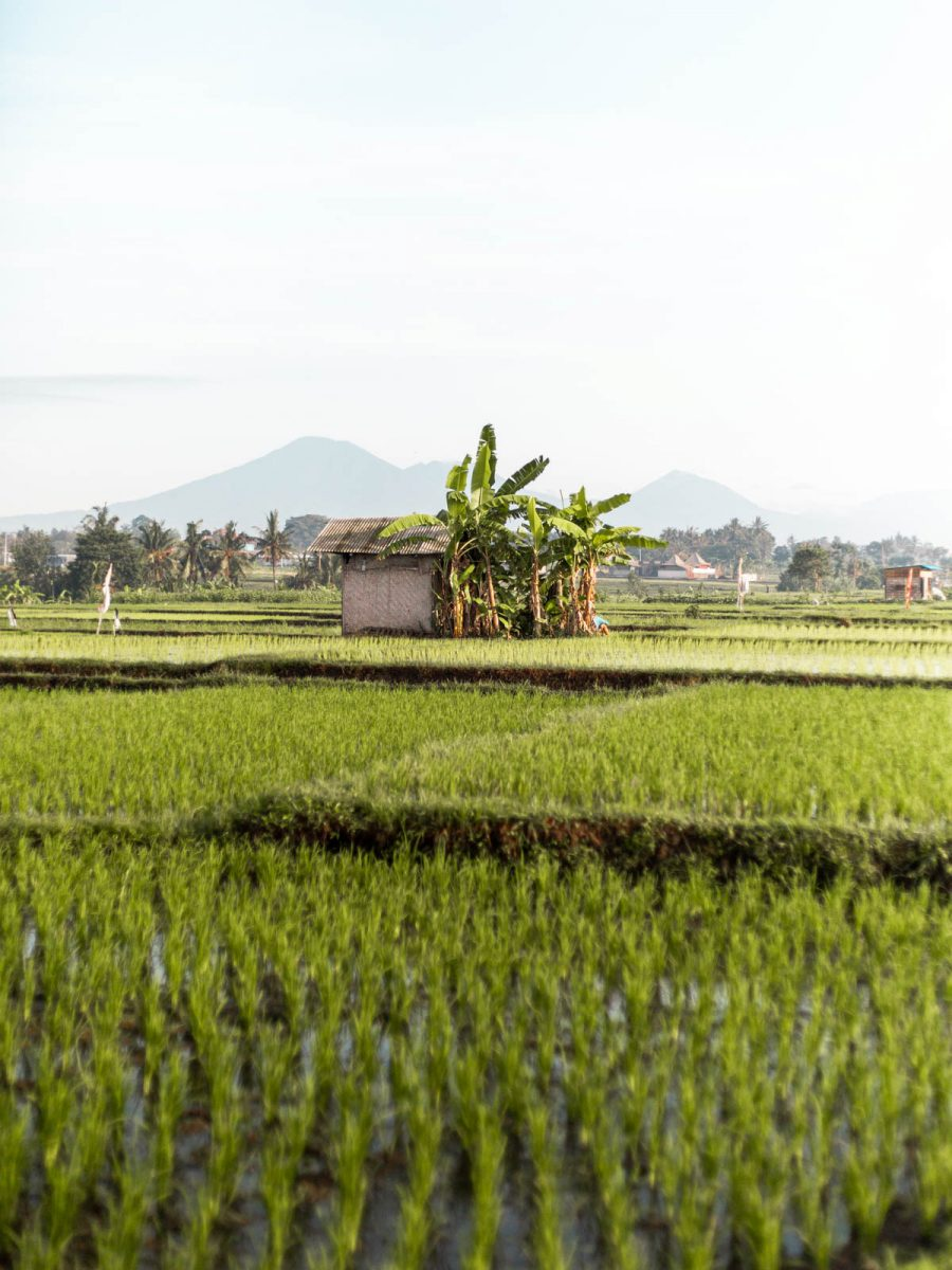 Shed in the Middle of The Rice Fields in Canggu, Bali