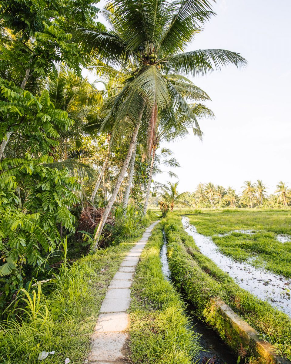 trail lined with palmtrees and rice fields at the sari organik walk in ubud bali
