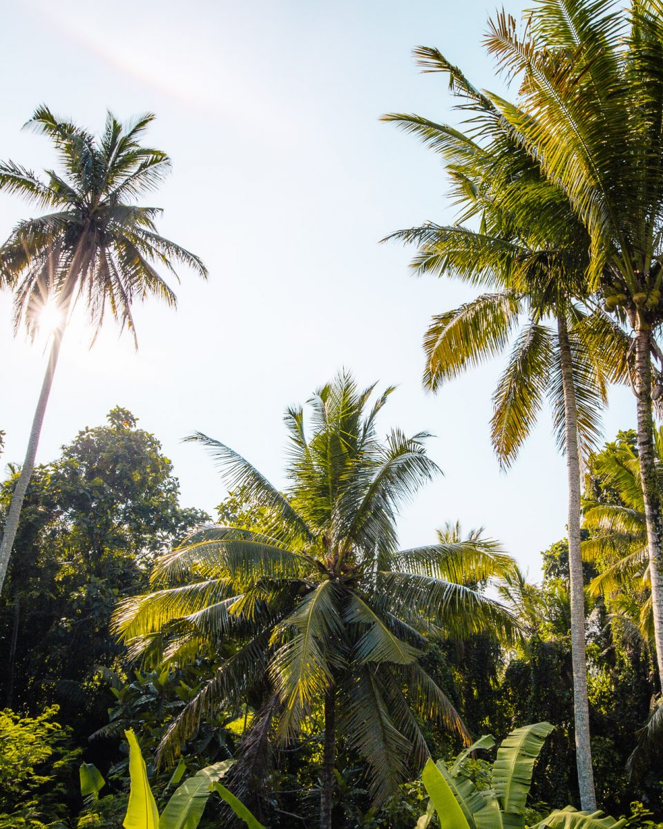 palm trees in Bali