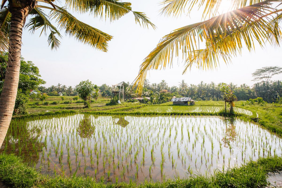 view over the rice fields from the sari organik walk in ubud bali
