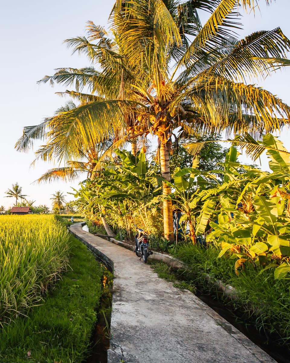 the narrow paths of the penestanan rice field walk