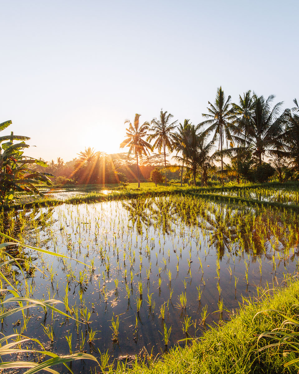 sun rise over the rice fields of penenstanan