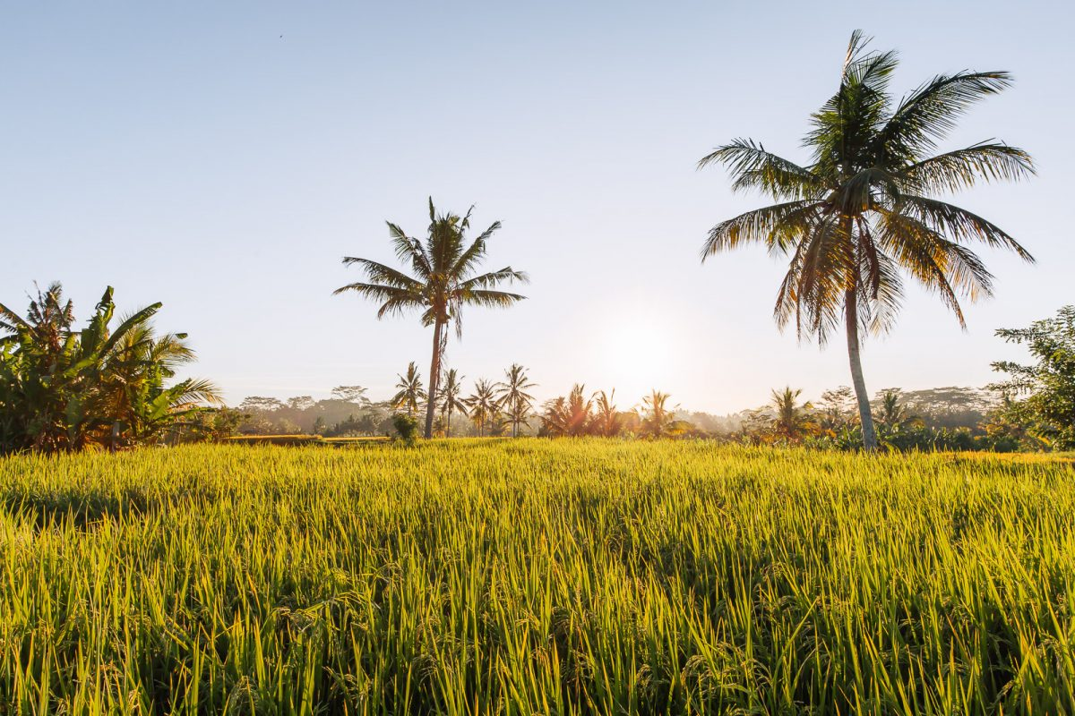 view over the rice fields in ubud